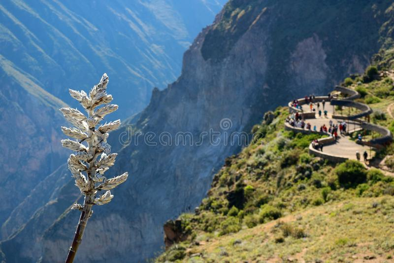 Close-up of Puya Weberbaueri Flower, with Blurred Viewing Balcony for Andean Condor Watching in Background, Colca Canyon in Peru stock photography