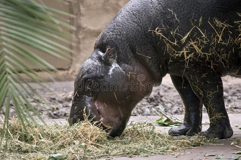 Pygmy hippo side view royalty free stock photo