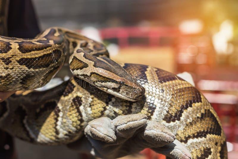 Close up python bivittatus or burmese python snake. Holding in the hand stock photos