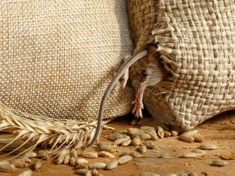 Close up que o rato da ratazana obtém em um furo no saco de grão no depósito fotografia de stock royalty free