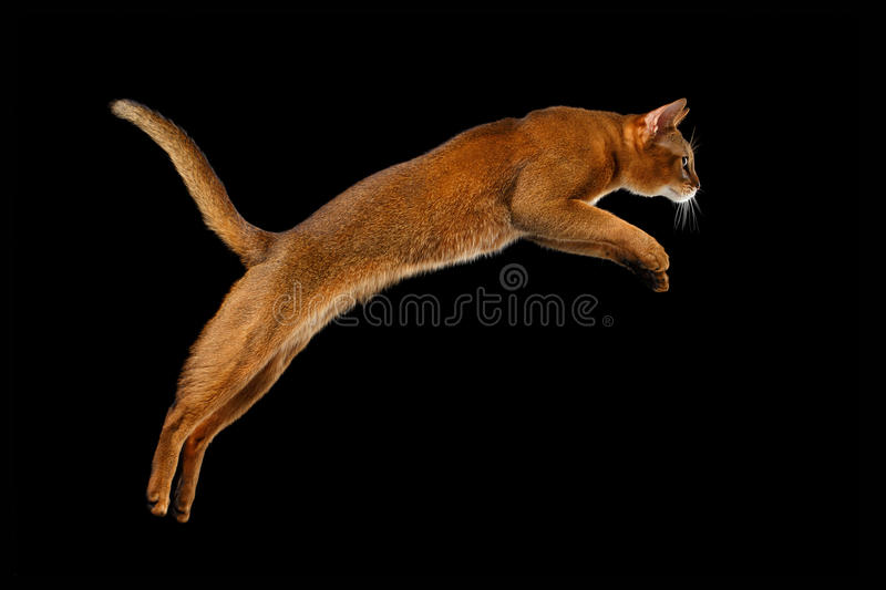 Close up que salta o gato Abyssinian no fundo preto no perfil foto de stock royalty free