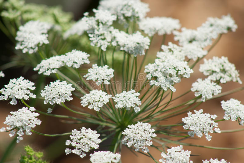 Close up queen annes lace. Close up of queen annes lace flower royalty free stock photo