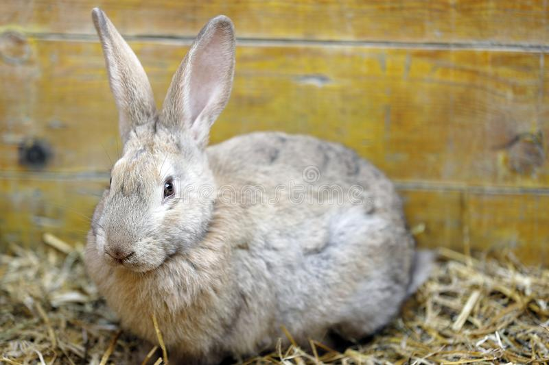 Close-up of a rabbit crouching on the straw of the cage. Close up of a rabbit crouching on the straw of the cage royalty free stock images