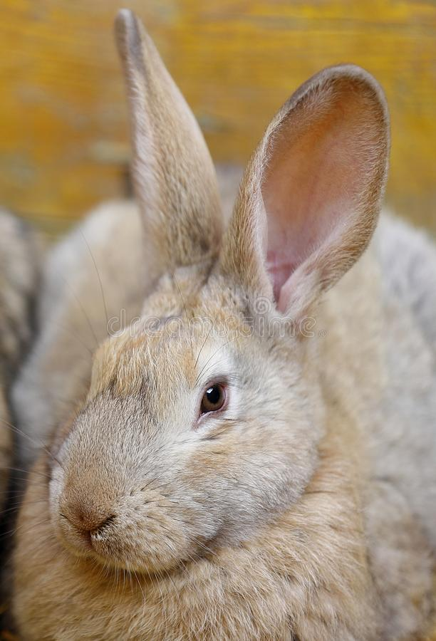 Close-up of a rabbit crouching on the straw of the cage. Close up of a rabbit crouching on the straw of the cage stock image