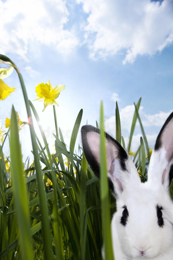 Close up of a rabbit in grass with daffodils royalty free stock image