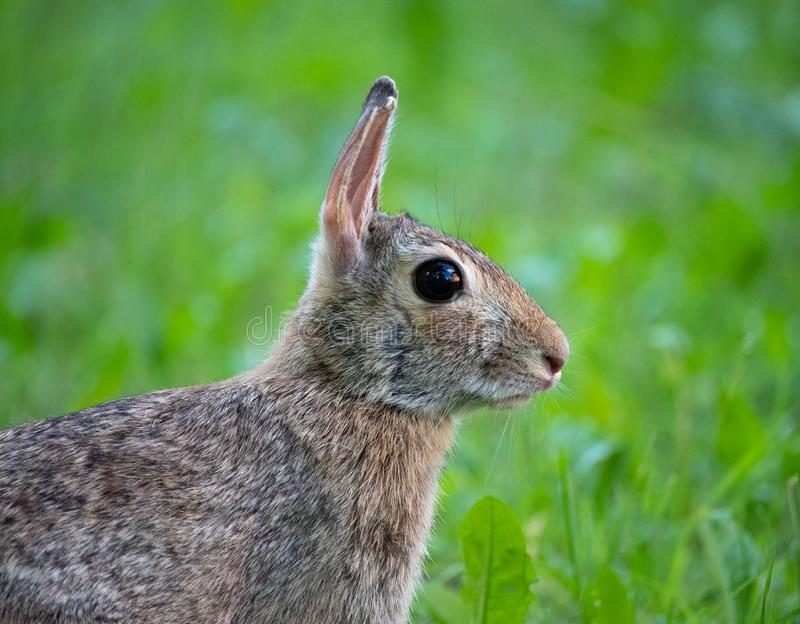 Close up Rabbit profile in his habitat natural. In Turin royalty free stock photography