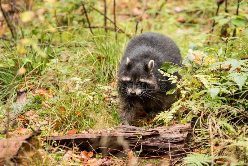 close up Raccoon Dog, stock photos