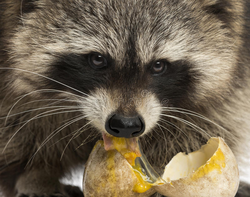 Close-up of a Racoon facing, Procyon Iotor, eating an egg. Close-up of a Racoon, Procyon Iotor, eating an egg royalty free stock images