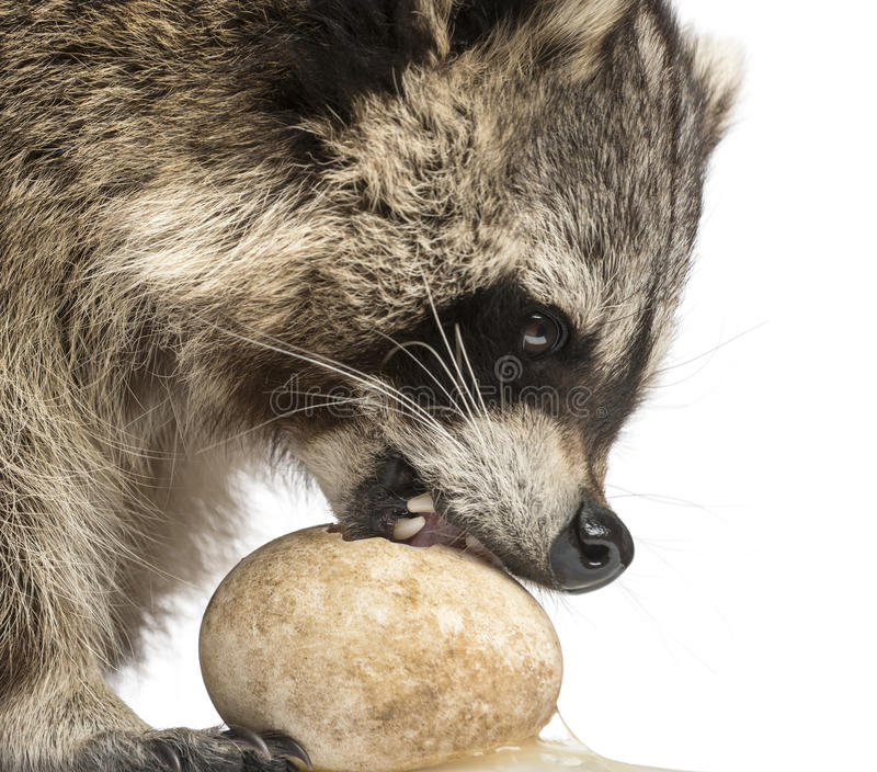 Close-up of a Racoon, Procyon Iotor, eating an egg, isolate. D on white stock photos