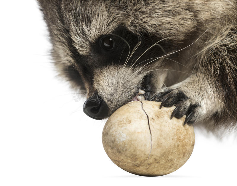 Close-up of a Racoon, Procyon Iotor, eating an egg, isolated. On white stock photo