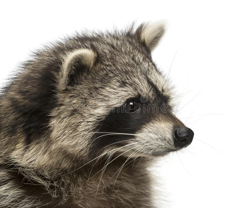 Close-up of a racoon, Procyon Iotor, isolated. On white stock images