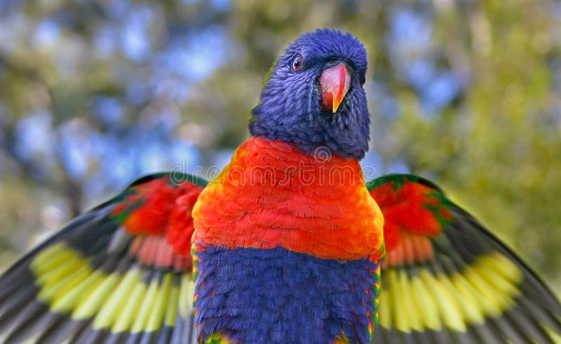 Close-up of rainbow lorikeet flapping its wings. With some motion blur visible stock images