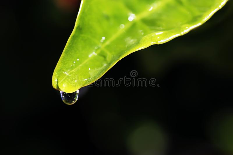 Close up of raindrop on a green leaf - macro photography. Black background royalty free stock photos