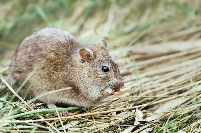 Close-up of a rat feeding in the field. royalty free stock image