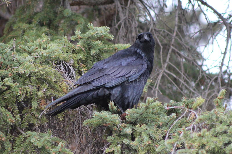 Close Up Of Raven In Banff stock photography