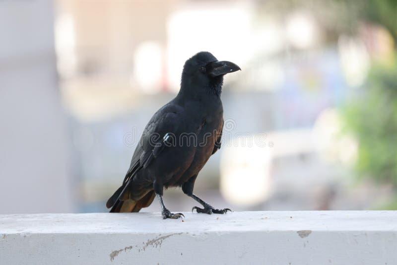 Close up of Raven blackbird face and beak. Animal, crow, , wild, birding, white, dark, looking, claw, fear, closeup, nature, outdoors, 1, wildlife, standing stock photos
