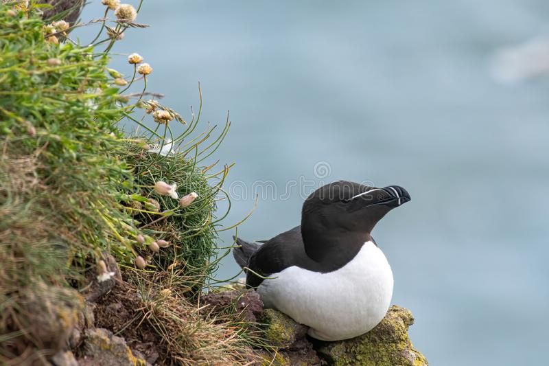 Razorbill Alca Torda perched on the rocks in Scotland. Close up of Razorbill Alca torda on coastal cliff Scotland royalty free stock photos