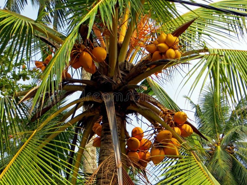 Close up real da palma de coco imagens de stock royalty free