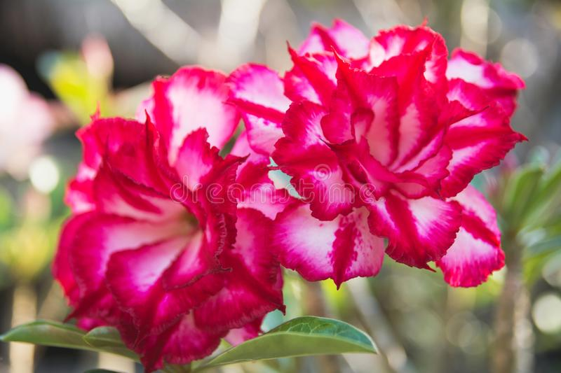 Close up red Adenium, red flower on the nature background royalty free stock photography