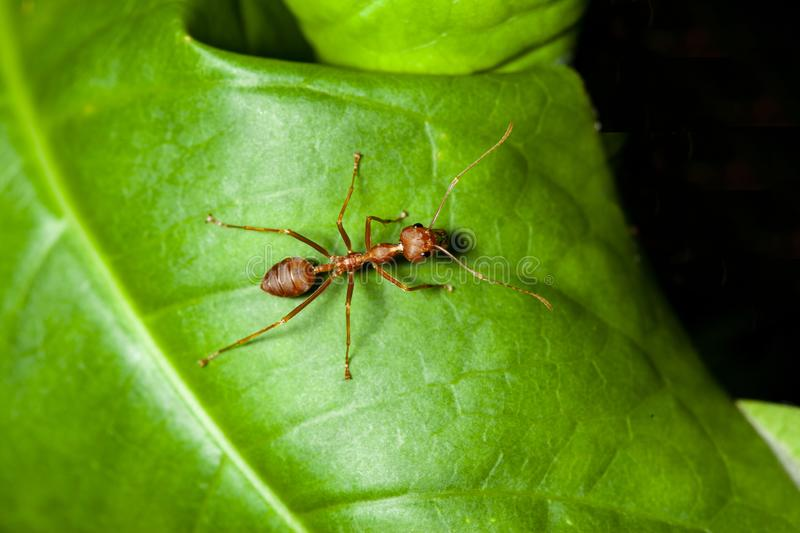 Close up red ant on green leaf in nature. White, people, food, closeup, concept, image, one, space, macro, studio, animal, work, group, single, detail, hot royalty free stock photo