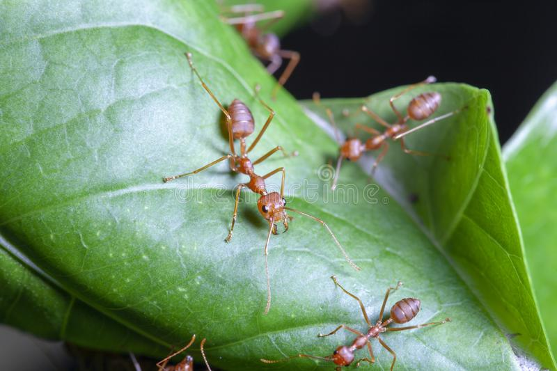 Close up red ant on green leaf in nature. White, people, food, closeup, concept, image, one, space, macro, studio, animal, work, group, single, detail, hot stock photo