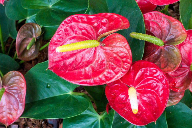 Close up of Red anthurium in garden. Close up of Red anthurium stock photography