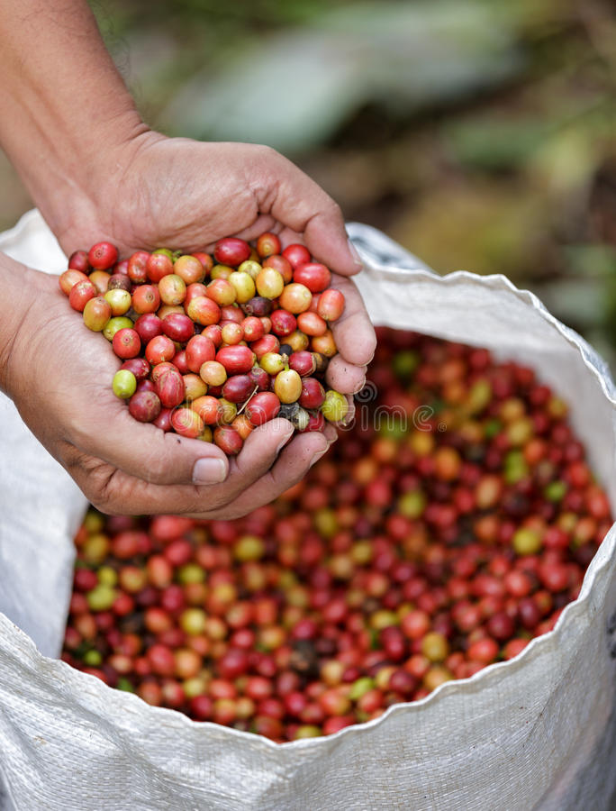Close up red berries coffee beans stock photos