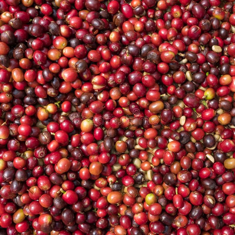 Close up of red berries coffee beans stock photography