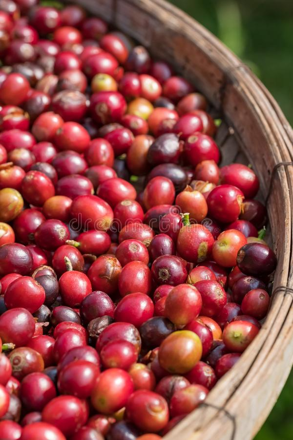 Close up of red berries coffee beans in basket stock photos