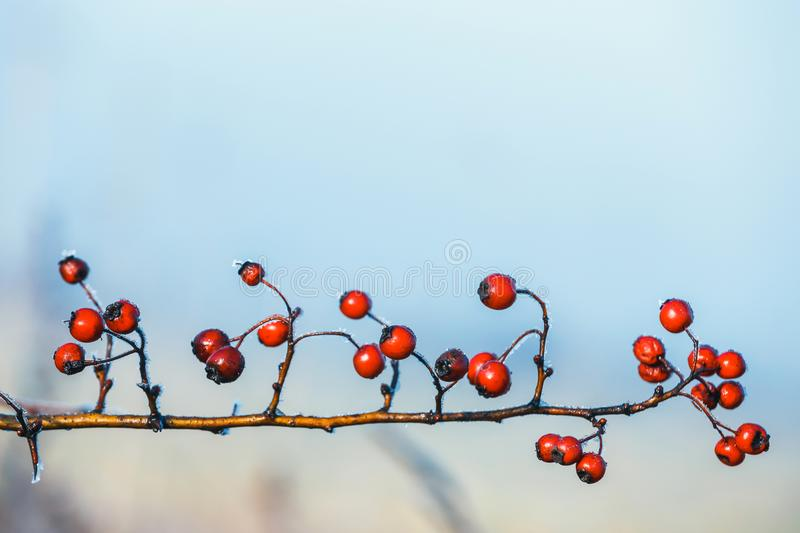 Red berries of viburnum with hoarfrost on the branches stock images