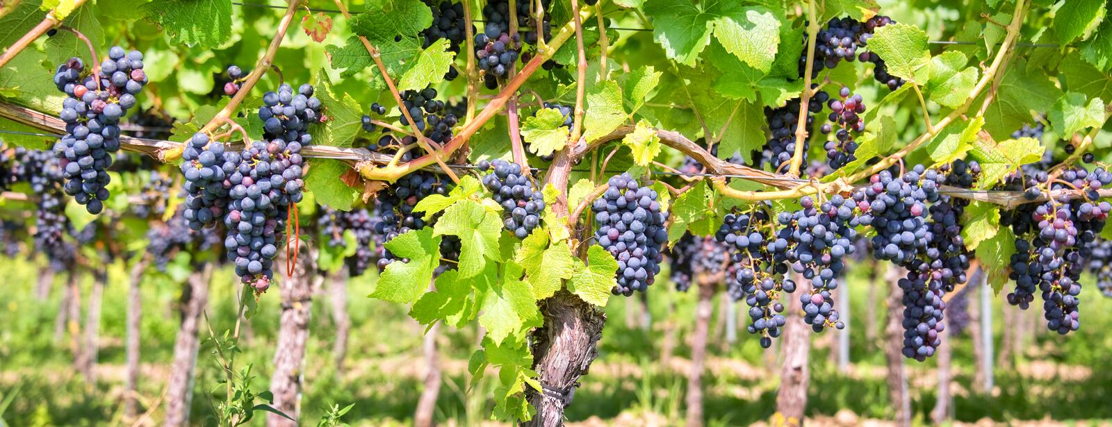 Close up on red black grapes in a vineyard, panoramic background, grape harvest royalty free stock image