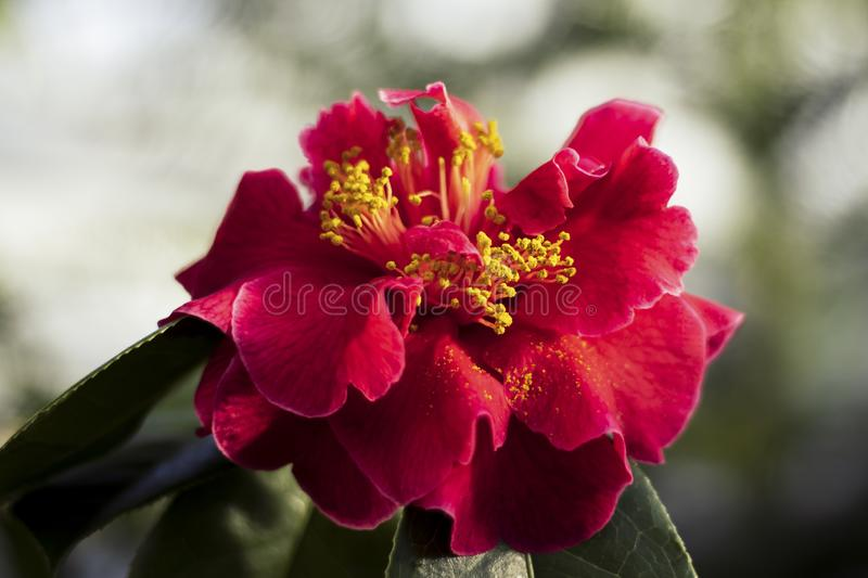 Close up of Red Camellia Flower in Bloom royalty free stock photography