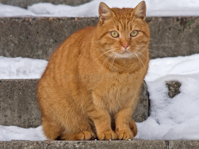 Close-up of red cat stock image