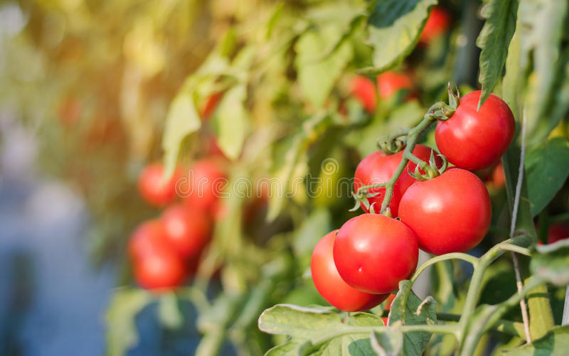 Close up red cherry tomato growing in field plant agriculture farm.  stock photo