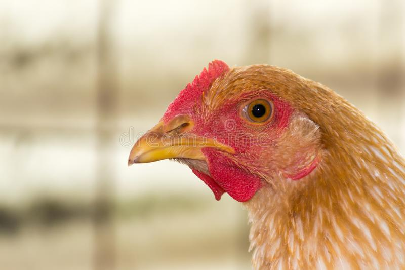 Close-up of red chicken head. At chicken farm, profile photo stock image