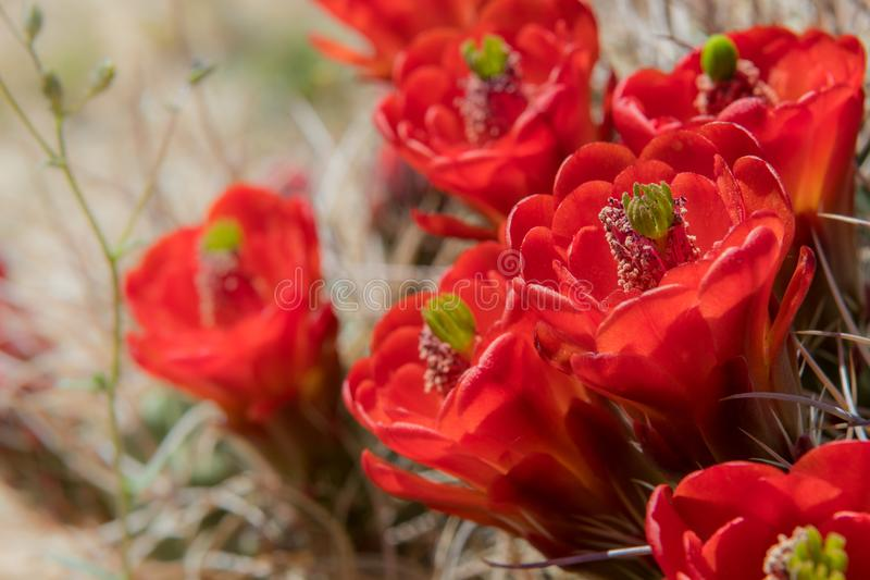 Close Up of Red Claret Cup Cactus Flowers. In Joshua Tree National Park royalty free stock images