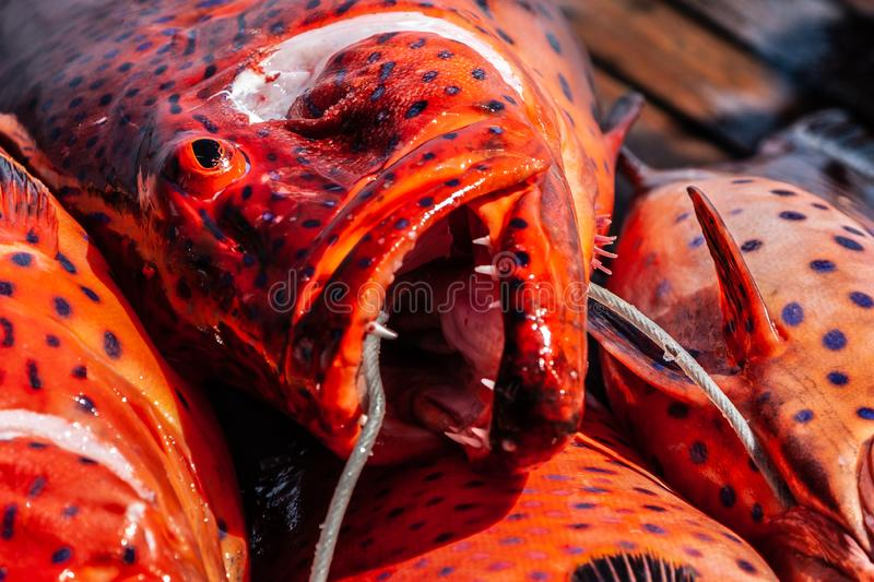 Close-up of red coral grouper on the deck. stock photos