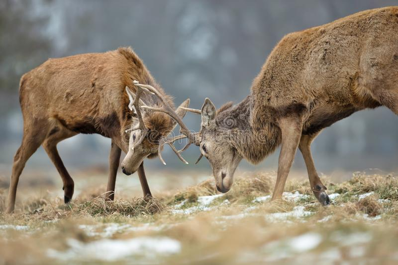 Close up of Red deer fighting stock images