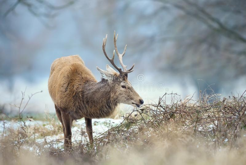 Close up of a Red deer stag eating in winter royalty free stock photos