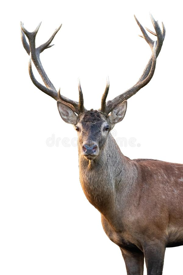 Free Close-up Red Deer Stag Head With Antlers In Summer Isolated On White Background Stock Photos - 154695553