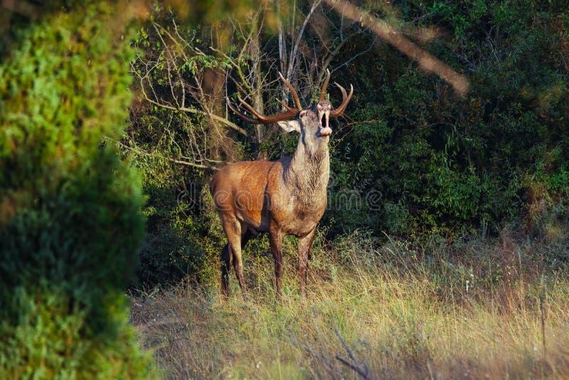 Red deer in rutting season royalty free stock images