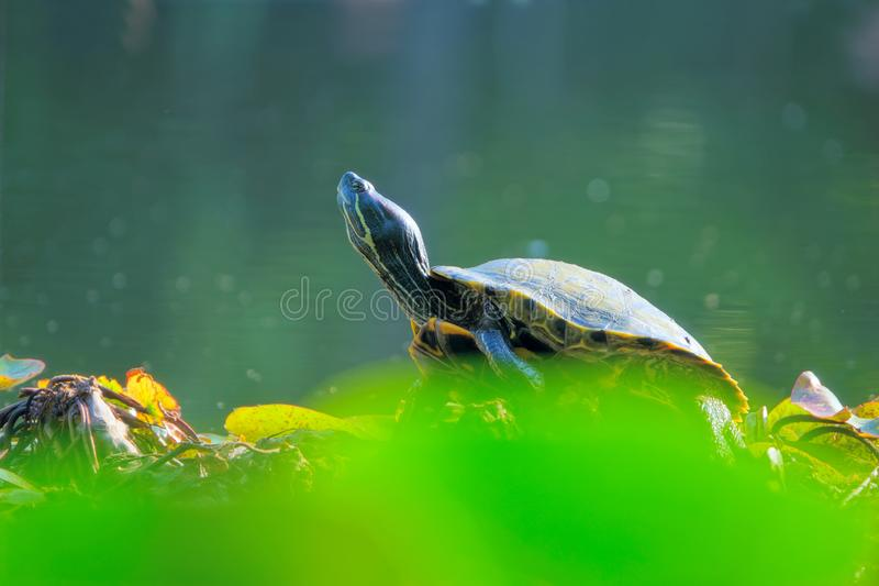 Red-Eared Slider. The close-up of a Red-Eared Slider on bank. Scientific name: Trachemys scripta elegans stock photography