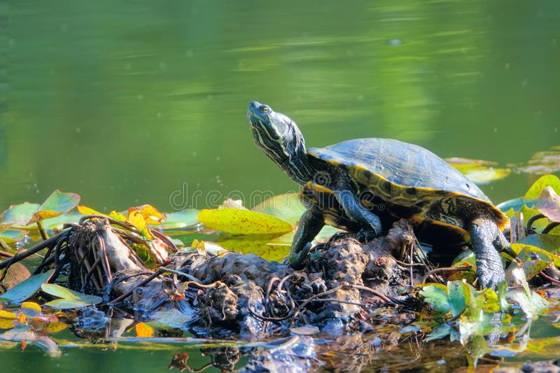 Red-Eared Slider. The close-up of a Red-Eared Slider on bank. Scientific name: Trachemys scripta elegans royalty free stock photos