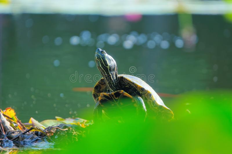 Red-Eared Slider. The close-up of a Red-Eared Slider on bank. Scientific name: Trachemys scripta elegans stock images