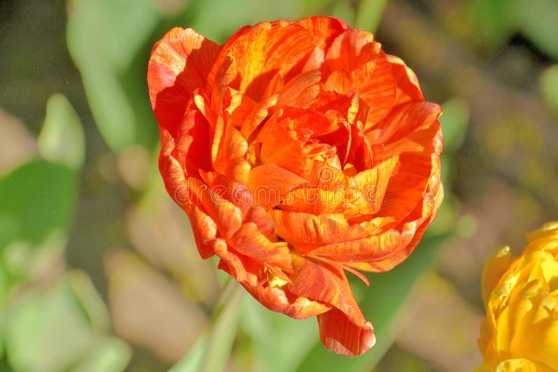 Close-up of a red exotic tulip on a sunny day in a garden stock photo