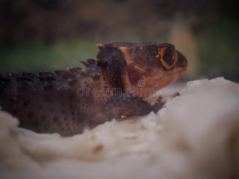 Close Up Red-eyed Crocodile Skink. stock images