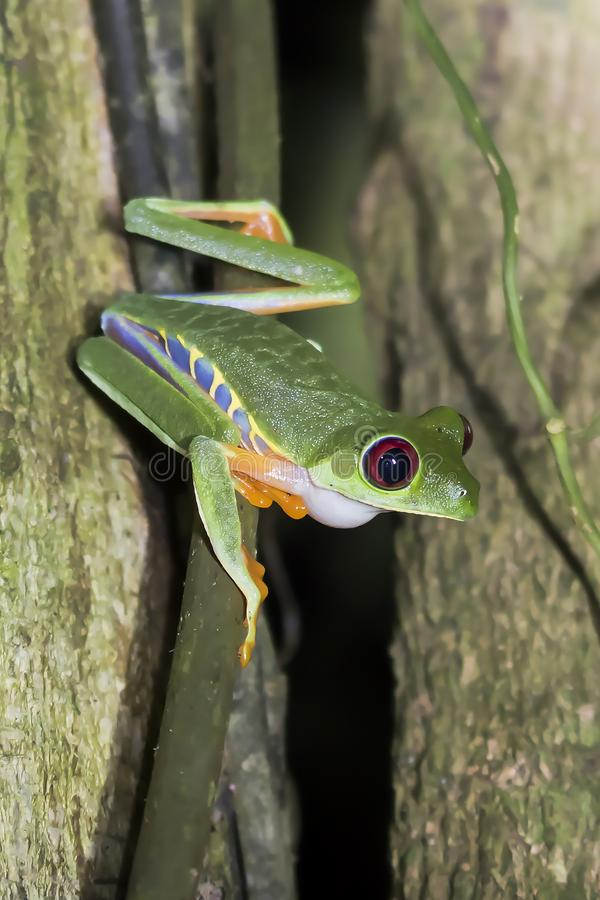 Close Up of Red Eyed Tree Frog in Nighttime Jungle royalty free stock images