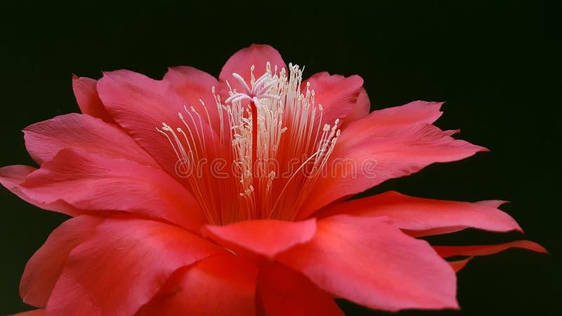 Close up red flower Disocactus ackermannii stock image