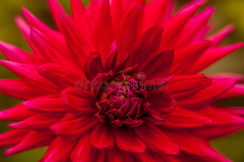 Close up of a red flower royalty free stock photography