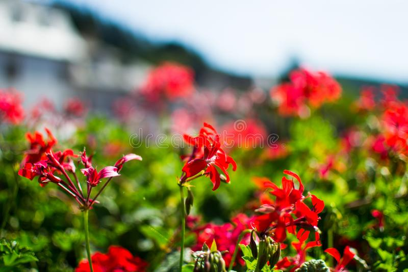 Close up of red flowers with blurred background. Macro nature. Love, passion stock photos